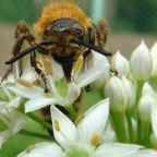 昆虫:ハチ目