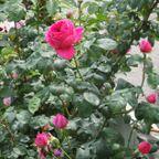 泉佐野市内のミニバラ園