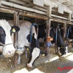 牧場の牛達
