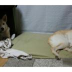 預かり犬 ケン