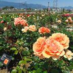 京都府立植物園と奈良県橿原運動公園のバラ園
