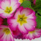 サークル花