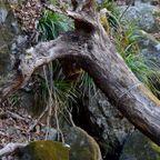 生物樹「トナカイ」