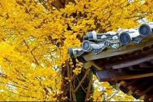 お寺の黄葉