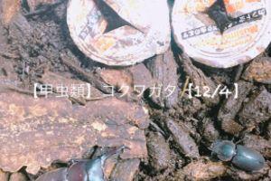 【甲虫類】コクワガタ【12/4】