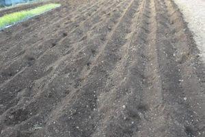 レタス畝の準備