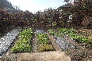 秋冬越冬野菜19種類の生育状況と坦々麺