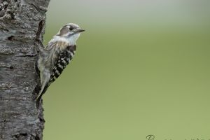 ・。・。・。・。 ちょこまか名人 ・。・。・。・。《Japanese Pygmy Woodpecker》