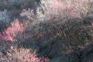 朝の光と影 高尾梅郷 (大下沢梅林/東京都 八王子市)