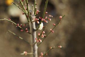 ようやく梅が咲いた 1輪