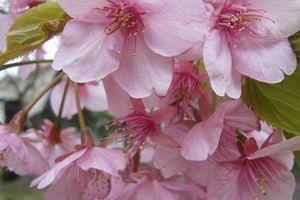 姉と一緒に河津桜を見に出かけました♪~