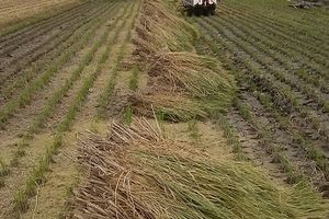 10月22日 残りの稲も脱穀完了です