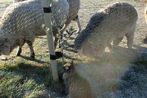 羊の国のビッグフット