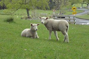 ニュージーランドには人間より羊の方が多い!?