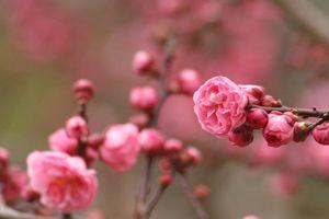 摩耶紅 (まやこう 梅)。 Japanese apricot