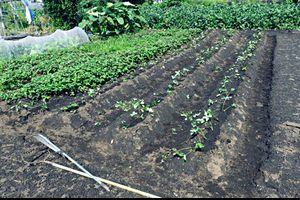 イチゴ苗定植