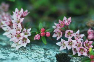 ミネズオウ(Loiseleuria procumbens)3
