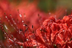 彼岸花の滴