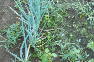 ネギさんの草むしりと土寄せも致しました。