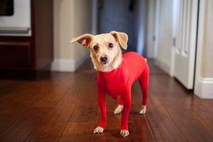 【犬にタイツ】 犬に全身タイツを着せてみた。セクシーwwwwwww