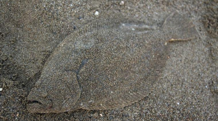 三重県で珍しい目が右にある「ヒラメ」が見つかる…漁協「初めて見た」水族館「遺伝子の変異で異常が起きたのかも」そのまま出荷へ