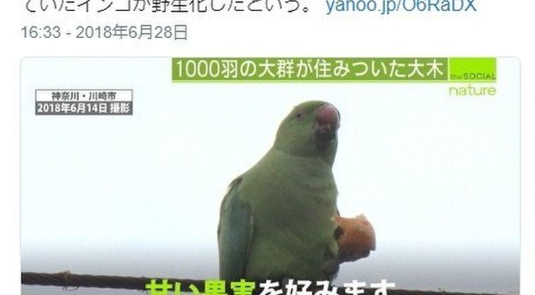 【生き物】東京や神奈川で「インコ」が大量発生…1000羽を超える大群に住民も困惑