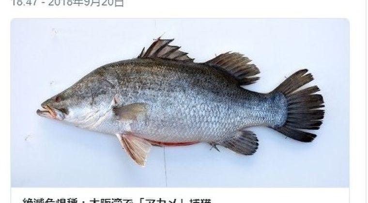 【レッドリスト】大阪湾で絶滅危惧種の「アカメ」捕獲!25年ぶり2回目