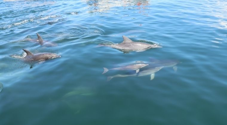 【大量】兵庫県淡路市沖に「イルカ200頭」近い群れが泳いでいるのを発見!住人「こんな多くの群れは初めて」