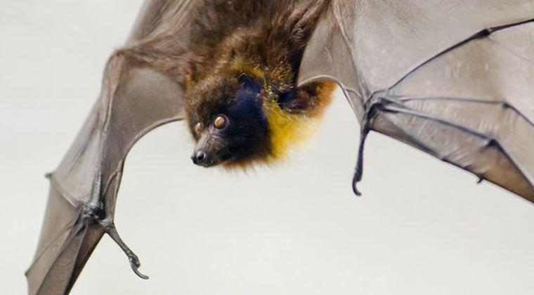 【ボリビア】コウモリの「血」を飲むという民間療法があるのをご存知ですか?「てんかん」の症状に効くと大人気に