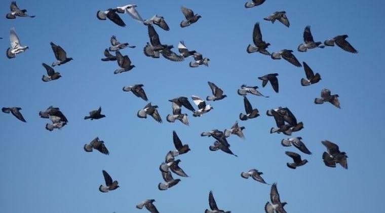 【滋賀】ハト「60羽」が死んでいるのが見つかる…鳥インフルも陰性、原因不明