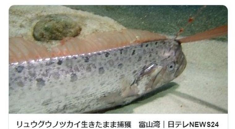 【富山】またまた「リュウグウノツカイ」が出現、生きたまま捕獲!今年度で「9匹目」
