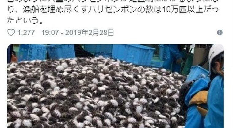 【前触れ】島根県の出雲市沖に異常な数の「ハリセンボン」が大量発生…その数およそ「10万匹」以上
