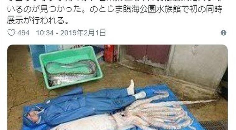 【能登半島】石川県で「ダイオウイカとリュウグウノツカイ」が網に入っているのを発見…2種同時は「開館以来ない珍事」