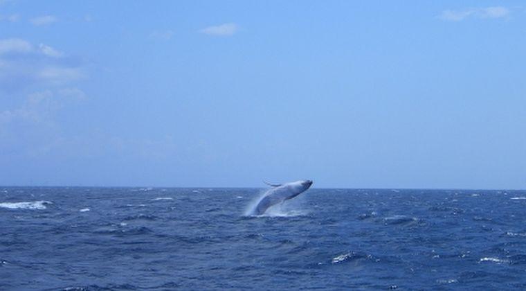 【策略】商業捕鯨のためにIWCを脱退した日本に海外から批判高まる「爆弾落とせ」「地震や津波がきて笑わないようにしないと」…総理の地元利権?水産庁と外務省で対立、そもそもクジラって国民食なのか?