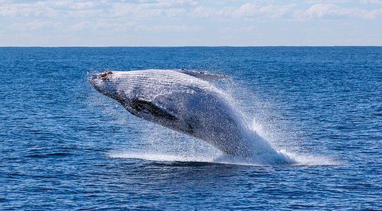 【異常事例】アメリカ東海岸で「クジラ」の異常死が急増!主な原因もわからず、打つ手なしか