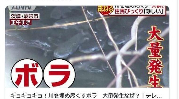 【異変】茨城県の川で「ボラ」が大量発生、なぜなのか?専門家「水温とエサに関係がある」