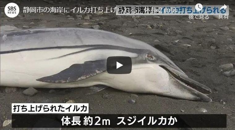 静岡県の海岸では「スジイルカ」が打ち上げられる!富山湾では過去最大級の「リュウグウノツカイ」が打ち上がっているのを発見
