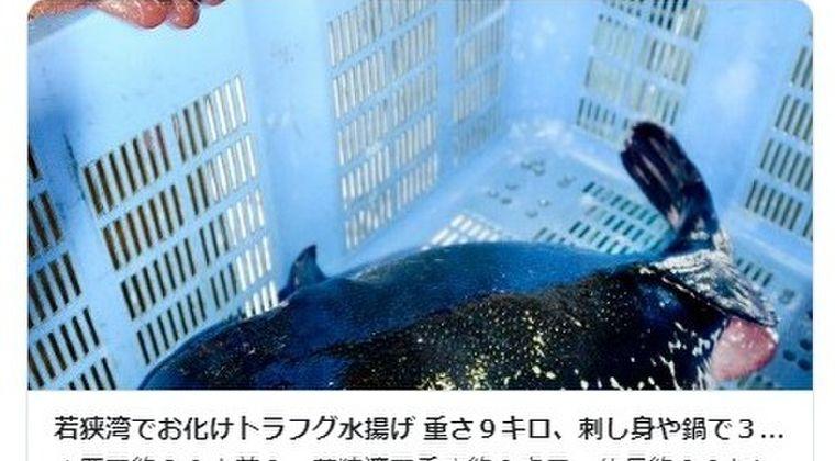 【日本海】福井県の若狭湾で「巨大トラフグ」を水揚げ!「こんなゴツいの、なかなか見れない」