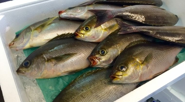 【地震前触れ】富山湾で大型のイサキが大漁!日本海で続く「異変」に漁業者も驚愕