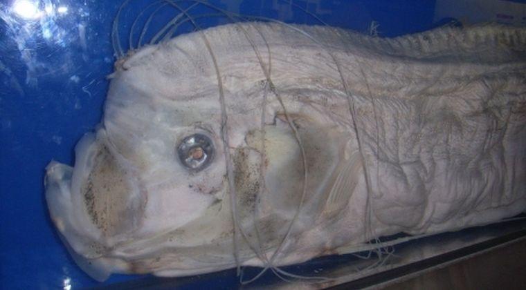 【伝承】専門家研究チーム「深海魚が漂着したり、捕れたりするは大地震の前兆じゃないから」…この手の言い伝えは「迷信」だと結論づける