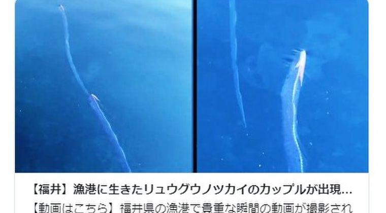 【福井県】漁港に「リュウグウノツカイ」2匹が海面近くへ…深海魚の目撃情報が相次ぐ