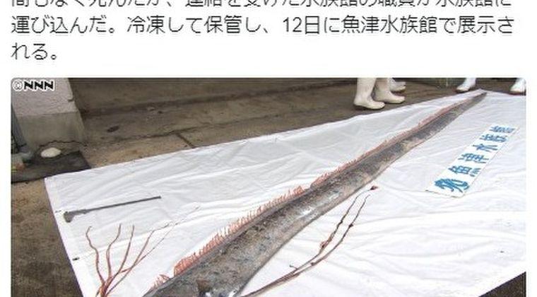 【日本海】今年初!富山で「リュウグウノツカイ」が見つかる