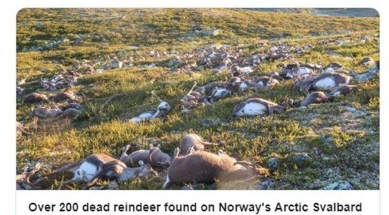 【気候変動】北極圏ノルウェーで「トナカイ200頭」が餓死しているのが見つかる