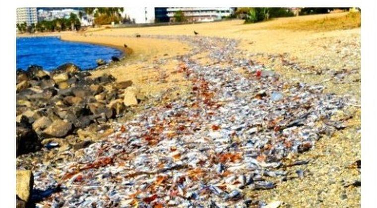 【地震前兆】兵庫県の御前浜公園海岸に「大量のイワシ」が打ち上げられているのを発見!