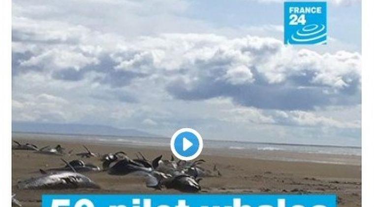 【原因不明】アイスランドの浜辺で「クジラ50頭」が打ち上げられているのを発見!