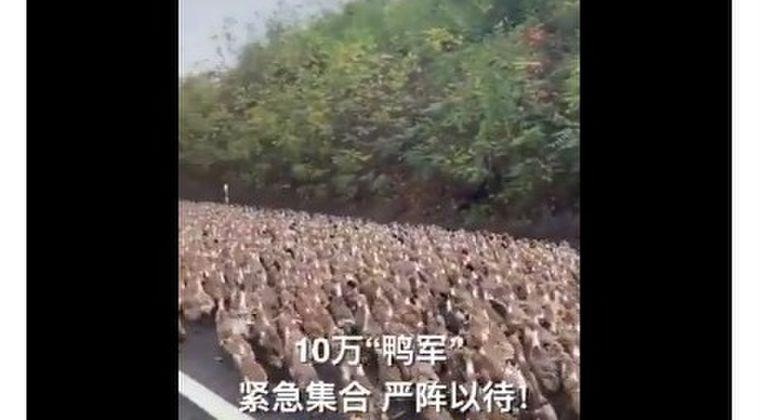 【動画】人類数千万人の食料供給を脅かしている「バッタ4000億匹」とそれに対抗するため集まった「アヒル10万羽」の戦いがついに始まる