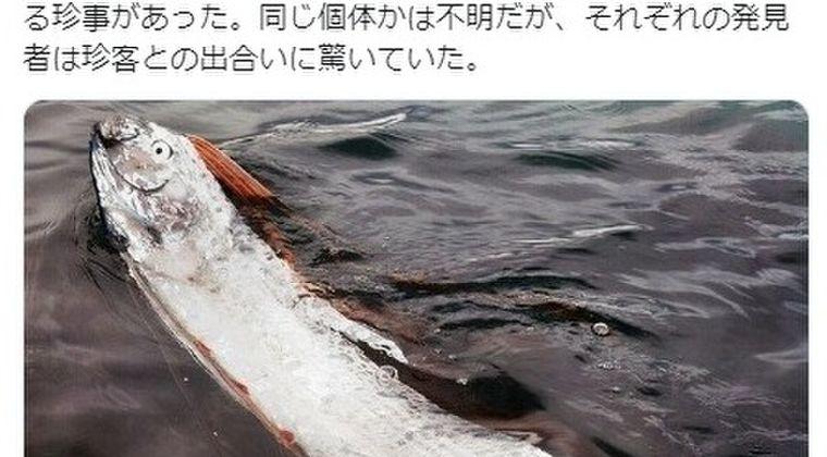 【前触れ】長崎で「イルカ50頭」の群れが出現!福井では「リュウグウノツカイ」が今年2回も発見、浅瀬で泳ぐ姿が目撃される!