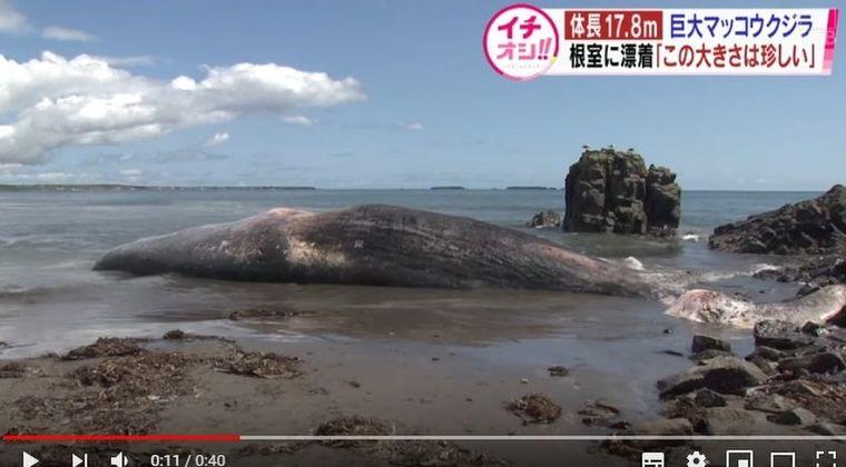 【地震前兆】北海道・根室の海岸に「巨大なクジラ」が打ち上げられているのが見つかる!