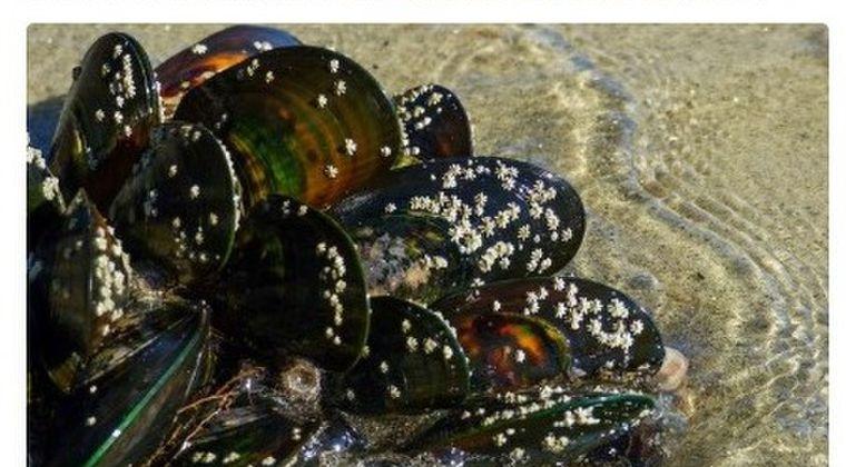 【ニュージーランド】海水温上昇により50万匹の「ムール貝」が生き茹で状態になってしまう