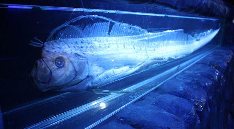 【深海魚】リュウグウノツカイが青森県六ケ所村の漁港で釣り上げられる!